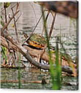 42- Florida Red-bellied Turtle Canvas Print