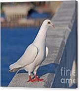 21- White Dove Canvas Print