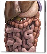 The Digestive System Canvas Print