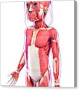 Human Muscular System Canvas Print