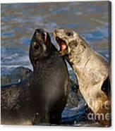 Antarctic Fur Seals Canvas Print