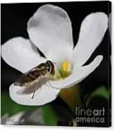 Bacopa Named Snowtopia Canvas Print