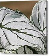 Caladium Named White Christmas Canvas Print