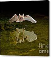 California Leaf-nosed Bat At Pond Canvas Print