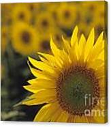 Close-up Of Sunflowers In A Field Canvas Print