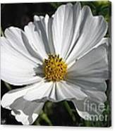 Cosmos Named Sensation Alba Canvas Print