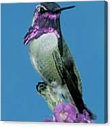 Costas Hummingbird Canvas Print