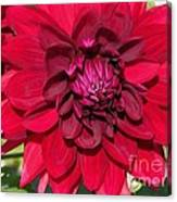 Dahlia Named Nuit D'ete Canvas Print