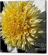 Dahlia Named Platinum Blonde Canvas Print