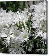 Dianthus Superbus - White Canvas Print