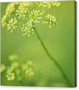 Dill Flower Canvas Print