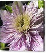 Double Clematis Named Empress Canvas Print