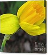 Dwarf Cyclamineus Daffodil Named Jet Fire Canvas Print