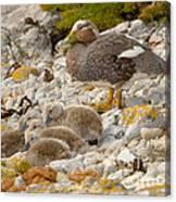 Falkland Steamerduck Canvas Print