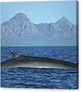 Fin Whale In Sea Of Cortez Canvas Print