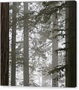 Foggy Coast Redwood Forest Canvas Print