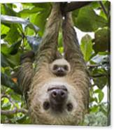 Hoffmanns Two-toed Sloth And Old Baby Canvas Print