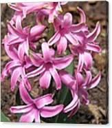 Hyacinth Named Pink Pearl Canvas Print