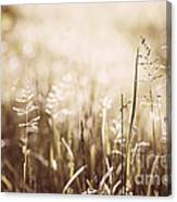 June Grass Flowering Canvas Print