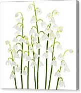Lily-of-the-valley Flowers  Canvas Print
