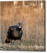 Male Eastern Wild Turkey Canvas Print