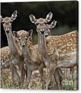 Mesopotamian Fallow Deer  Canvas Print