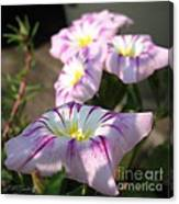 Morning Glory Named Pink Ensign Canvas Print