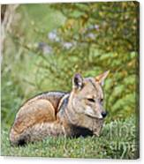 Patagonian Red Fox Canvas Print