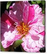Portulaca Named Sundial Peppermint Canvas Print