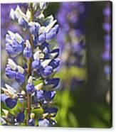 Purple Lupine Flowers Canvas Print