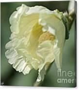 Single Buttercream Hollyhock Canvas Print