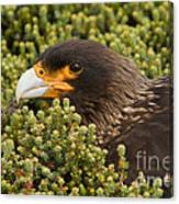 Striated Caracara Canvas Print