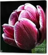 Triumph Tulip Named Jackpot Canvas Print