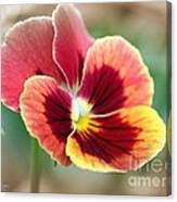 Viola Named Penny Red Blotch Canvas Print