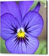 Viola Named Sorbet Blue Heaven Jump-up Canvas Print