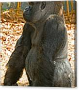 Western Lowland Gorilla Male Canvas Print