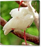White Ibis Eudocimus Albus Canvas Print