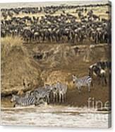 Wildebeests Crossing Mara River, Kenya Canvas Print