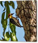 Yellow-fronted Woodpecker  Melanerpes Canvas Print