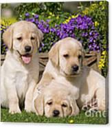Yellow Labrador Puppies Canvas Print