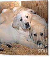 Yellow Labrador Retriever Puppies Canvas Print