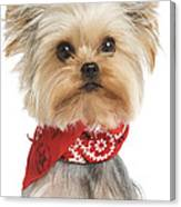 Yorkshire Terrier Dog Canvas Print