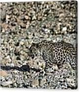 Arabian Leopard Panthera Pardus Canvas Print