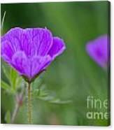 Bloody Geranium Wild Flower Canvas Print