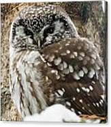 Boreal Owl Pictures Canvas Print