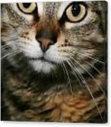 Brown Tabby Canvas Print