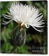 Centaurea Named The Bride Canvas Print