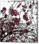 Cherry Blossoms In The Sky Canvas Print