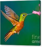 Chestnut-breasted Coronet Canvas Print