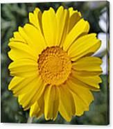 Crown Daisy Flower Canvas Print